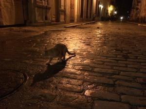 havana_cat_1