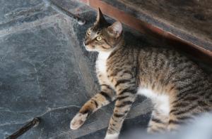 havana_cat_3